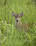 Baby deer Royalty Free Stock Photos