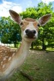 Baby deer royalty free stock image