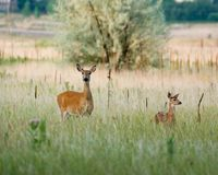 Baby deer. And its mother standing in the grass Stock Images