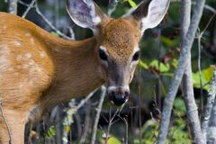 Baby deer. A young wite tailed deer closeup Stock Image