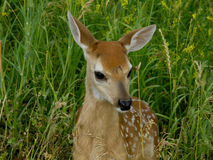 Baby Deer. This image of the young deer (fawn) was taken in late spring in western Montana Stock Photo