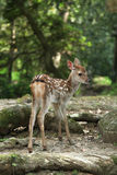 Baby deer Royalty Free Stock Photo