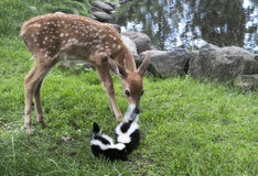Baby deer with baby skunks. Young whitetail fawn checking out a pair of baby skunks Royalty Free Stock Image