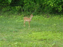 Baby deer in backyard royalty free stock photos