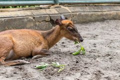 Baby deer in Bali Zoo park, Indonesia. Close up. Royalty Free Stock Image