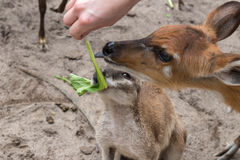 Baby deer in Bali Zoo park, Indonesia. Close up. Royalty Free Stock Photography