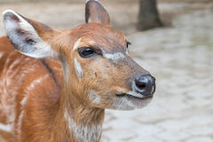 Baby deer in Bali Zoo park, Indonesia. Close up. stock images