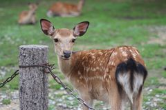 Baby deer cervus nippon in Nara park, Japan stock images