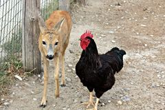 Baby deer and chicken - best friends Stock Photo