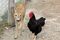 Baby deer and chicken - best friends Stock Photo
