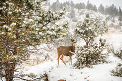 Baby mule deer eating foliage winter snow scene Stock Photography