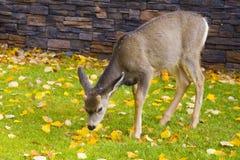 Baby deer enjoying a meal Stock Image