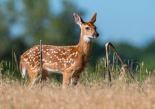 Baby Deer Exploring the Prairie stock photography