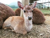 Baby deer. A deer family in conservation nature animals love royalty free stock photos