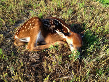 Baby Deer Fawn in the Grass Royalty Free Stock Photography
