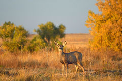 Baby Deer in a Field with Autumn Leaves at Sunset Stock Photography