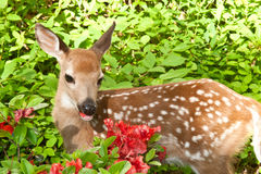 Baby Deer Stock Image