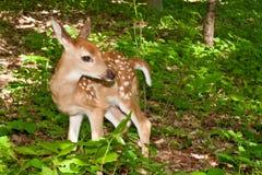 Baby Deer stock photography