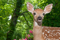 Baby Deer Royalty Free Stock Photos