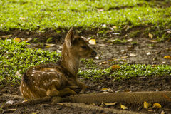 A baby deer on the grass. Deer on the grass in Indonesian town Bogor Stock Image