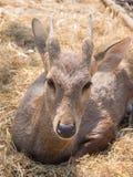 Baby deer on haystack. Baby deer sit on haystack Stock Images