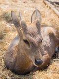 Baby deer on haystack. Baby deer sit on haystack Royalty Free Stock Photo