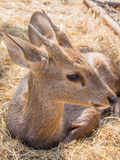 Baby deer on haystack Royalty Free Stock Image