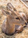 Baby deer on haystack. Baby deer sit on haystack Royalty Free Stock Image