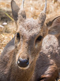 Baby deer on haystack. Baby deer sit on haystack Royalty Free Stock Photos