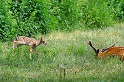 Wild animal. Family in green grass. Baby deer and his father. Grazing on a meadow stock photos