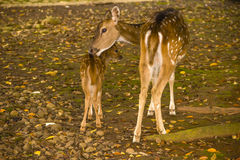 A baby deer with his mother on the grass. Deers on the grass in Indonesian town Bogor Stock Photography