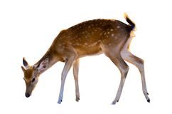 Baby deer isolated in white background royalty free stock photography