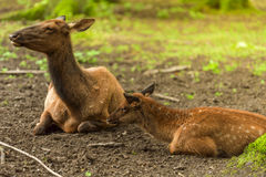 Baby deer and its mother Stock Photos