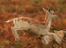Baby deer jumping Royalty Free Stock Image