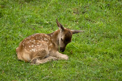 Baby deer laying on meadow Stock Photos