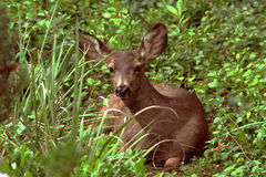 Baby deer looking at camera royalty free stock photography
