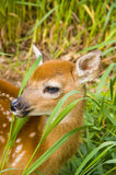 Baby Deer. Looking out at the world from its hiding place Stock Photography