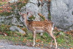 Baby Deer Looking Straight at You. In front of a wall of rocks Royalty Free Stock Images