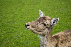 Baby deer looking up. Baby deer looks up against a lush green grass background Stock Photography