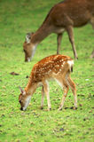 Baby deer and mom. Grazing in the field stock photography