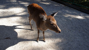 Baby Deer of Nara Park Japan Royalty Free Stock Photography