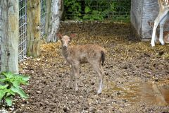 Baby Deer. In a pen looking at the camera stock image
