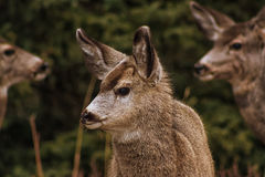 Baby Deer Portrait. A portrait of a baby mule deer with its parents framing it in the background Royalty Free Stock Photography