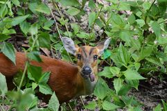 Baby deer put on one tongue Royalty Free Stock Photos