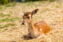 Baby deer. A baby deer, resting, shot in an animal park, near Cluj-Napoca Royalty Free Stock Photography
