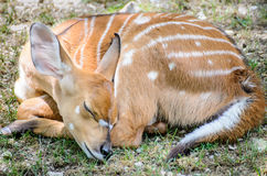 Baby Deer Sleeping. Baby Deer Fawn Sleeping Curled Up Stock Photography