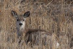 Baby Deer Stock Image