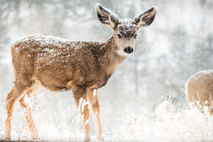 Baby fawn in winter snow scene Stock Photo