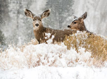 Baby deer in snow fall looking at camera Royalty Free Stock Photos