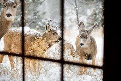 Deer in through window panes in snow Royalty Free Stock Photos
